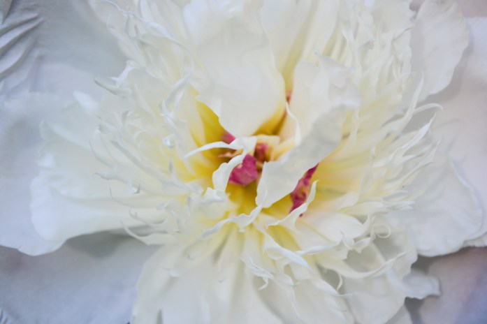White peony with pink centre