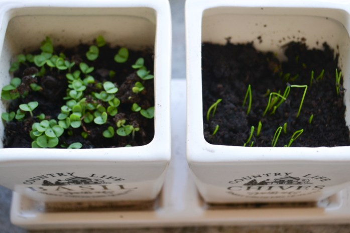 basil and chive seedlings