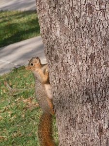 Squirrel_on_tree_trunk