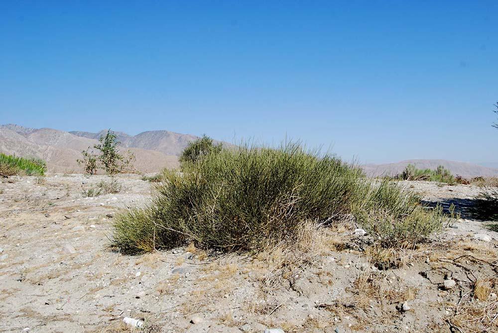 E_californica_CabazonCA_DSC0364_crop