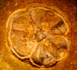 Fossil with affinity to Actinidiaceae showing 3-loculate fruit with 2 seeds per locule each showing the characteristic papillate epidermis pattern.