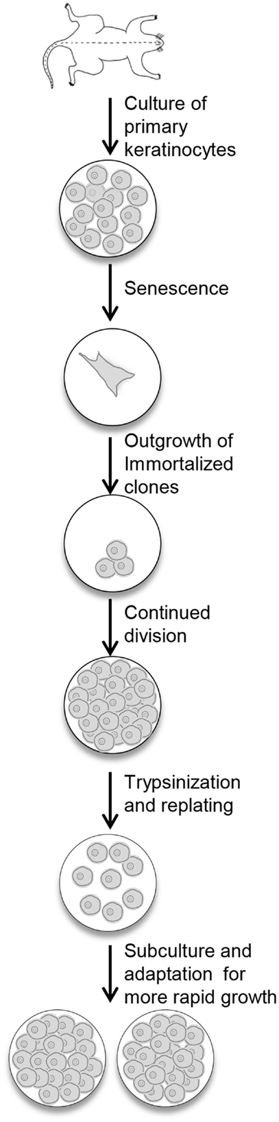 Frontiers A Method for the Immortalization of Newborn Mouse Skin