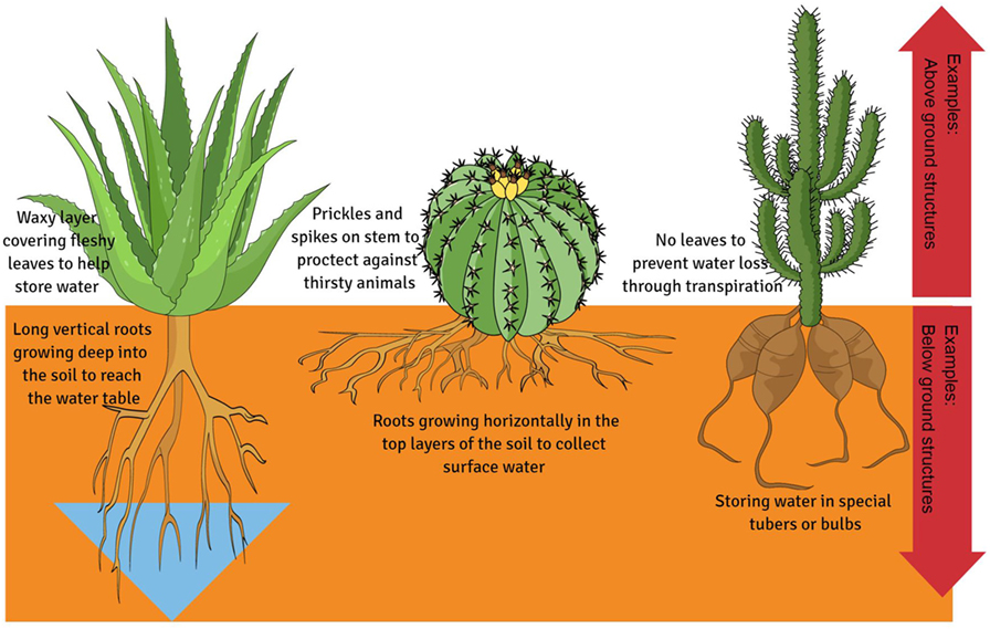How Do Plants Deal with Dry Days? · Frontiers for Young Minds