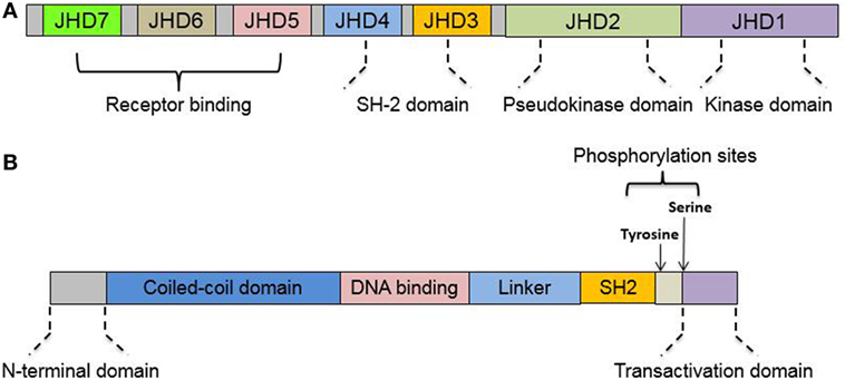 Frontiers Interplay between Janus Kinase/Signal Transducer and