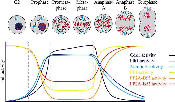 Frontiers Coordination of Protein Kinase and Phosphoprotein