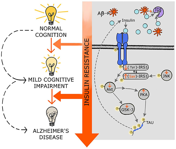 Frontiers Insulin Resistance as a Therapeutic Target in the