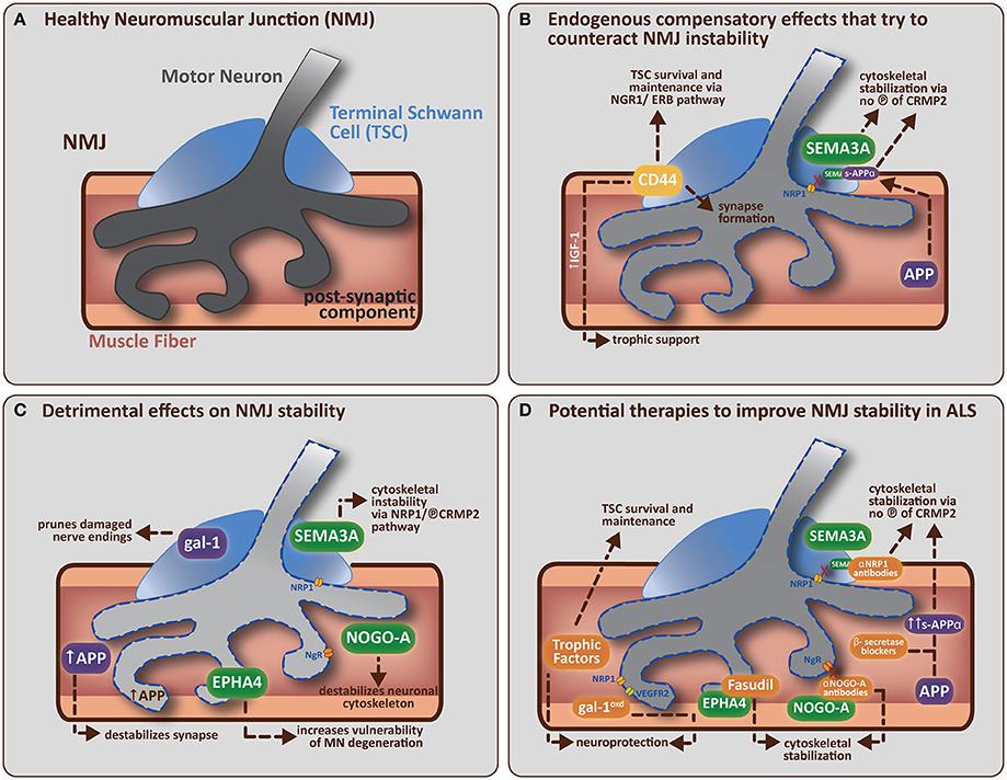 Frontiers ALS as a distal axonopathy molecular mechanisms - neuromuscular junction