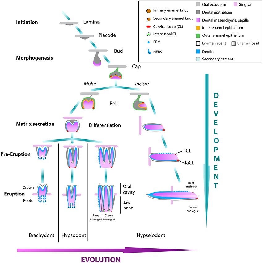 Frontiers An Evo-Devo perspective on ever-growing teeth in mammals