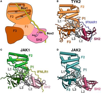 Frontiers The Janus Kinase (JAK) FERM and SH2 Domains Bringing