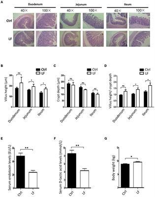 Frontiers Lactobacillus frumenti Facilitates Intestinal Epithelial