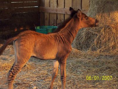 Cute Anchor Wallpapers Zorse Foal