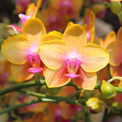 Orchid-iStock