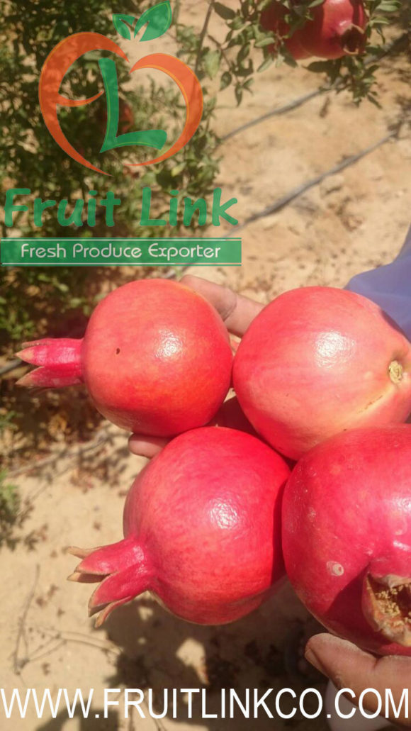 Egyptian Pomegranates early 116 by Fruit Link (5)