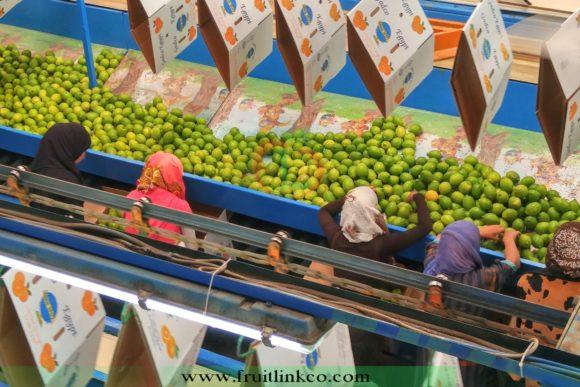 Lemons fresh from Egypt for export by fruit link
