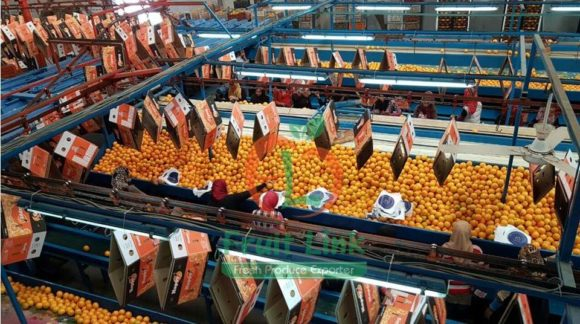 Egyptian Oranges | producing and packaging | Fruit Link