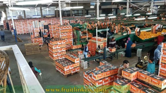 Navel Oranges processing and packing to be ready for export by Fruit Link