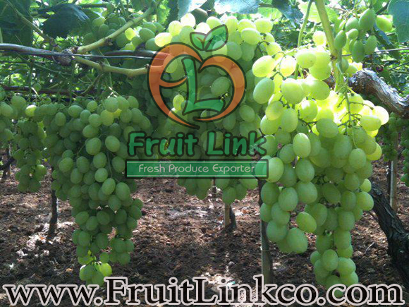 Thompson Grapes by Fruit Link
