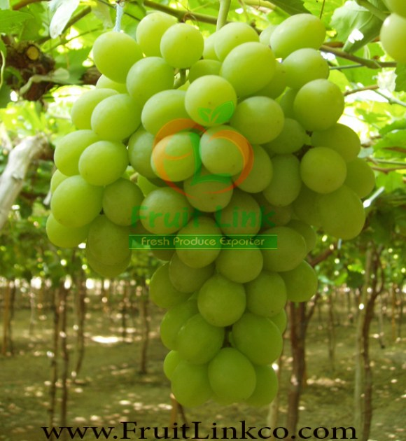 Early sweet grapes crop by Fruit Link