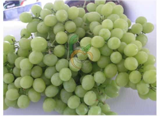 Egyptian Yellow Grapes