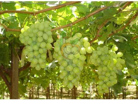 Egyptian Yellow Superior Grapes