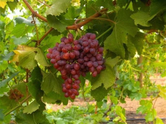 Egyptian Flame Grapes