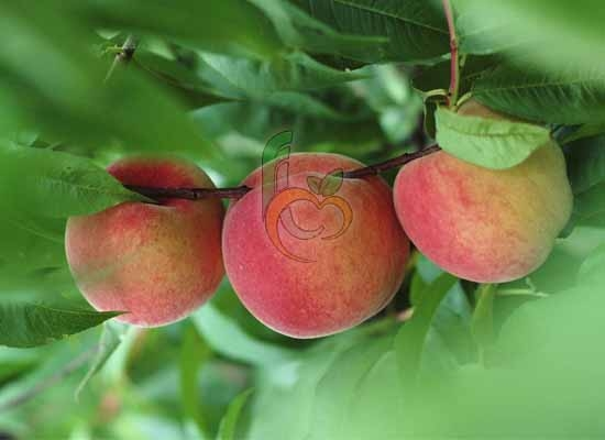 Egyptian Peach tree