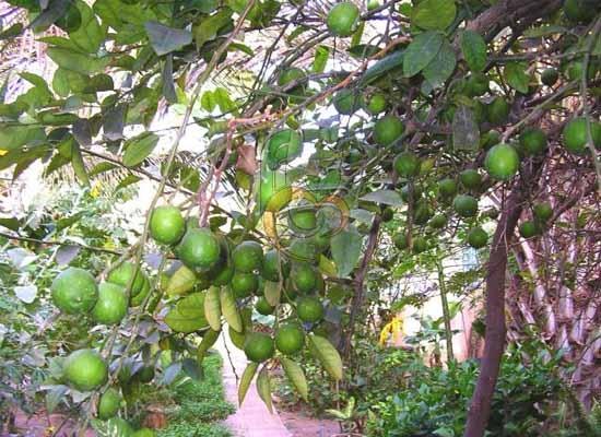 Lime Of Egypt | Fruit Link