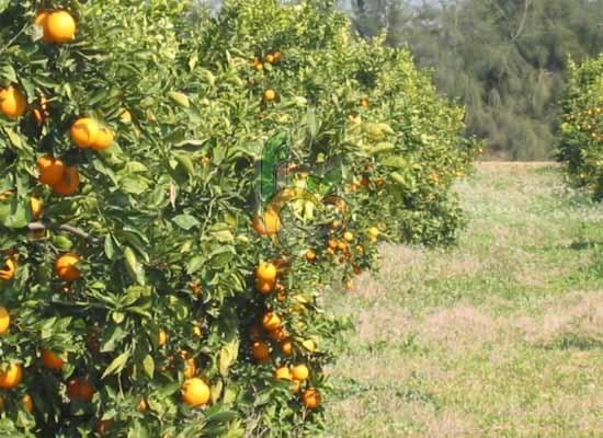 Valencia Orange Farm