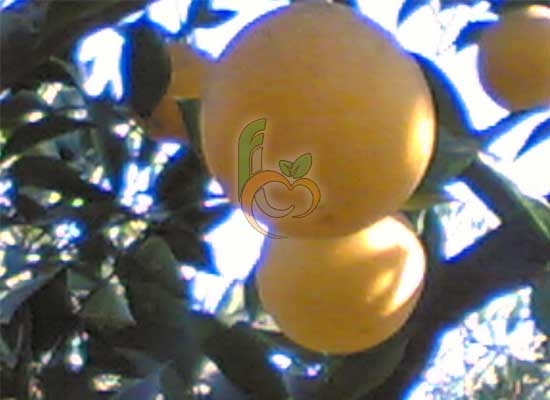 Egyptian Sweet Orange Citrus