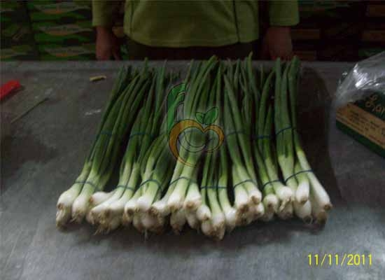 Very Fresh onions from Egypt