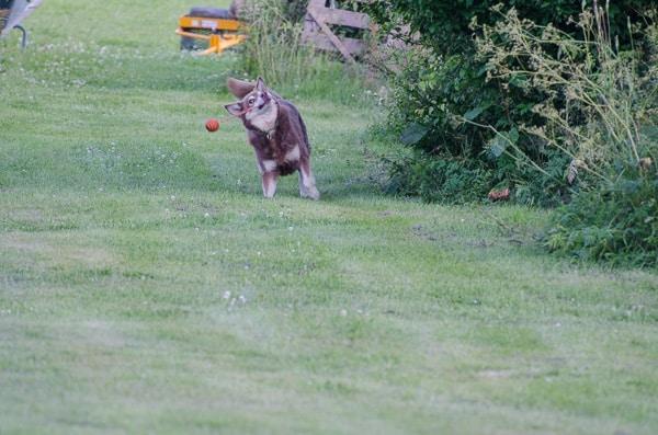 Trots sin ålder har hon inte tröttnat på att jaga bollar.