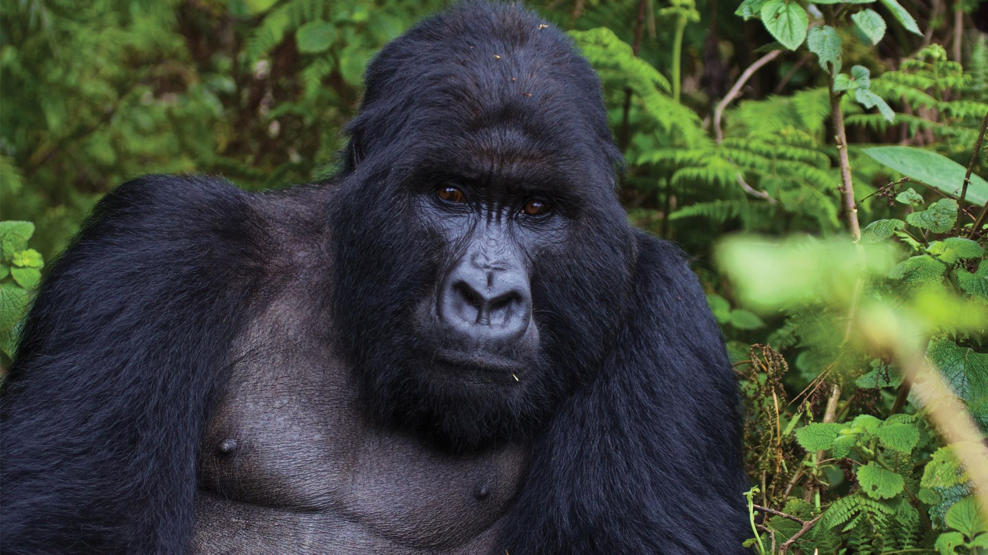 Cute Gorilla Wallpapers Full Hd Gorilla Photos And Wallpapers 1080p 1080p