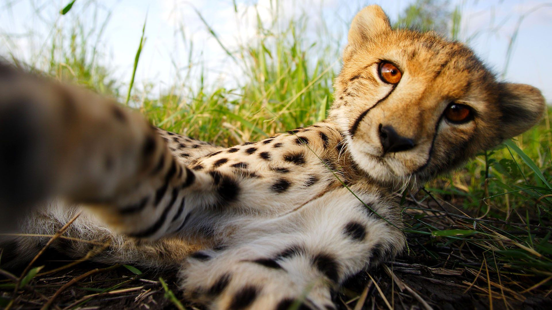 Cute Couples Wallpapers Full Hd Cheetah 1080p Full Hd Wallpapers And Images 1080p
