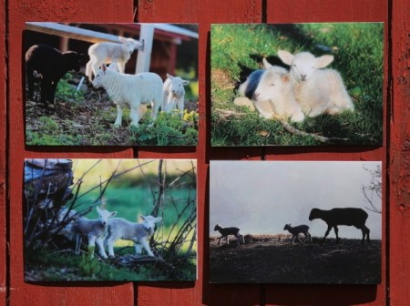 """ Lamb"" Notecards By Jon Katz"