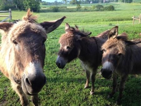 donkeys fb
