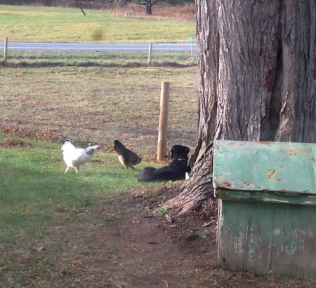 Frieda and the hens