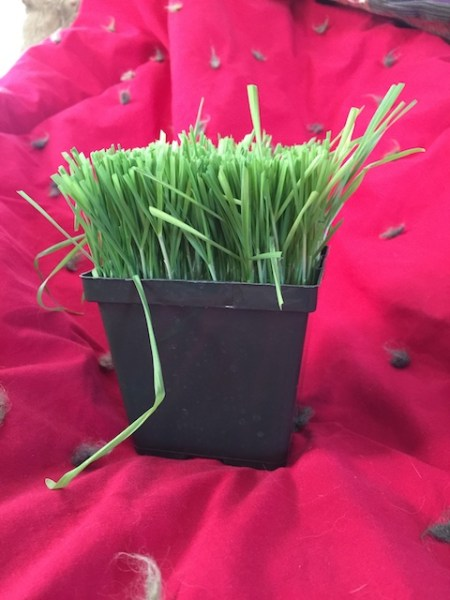 Wheatgrass after mowing.
