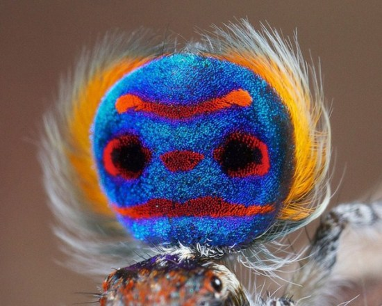 Colorful-Spider-Peacock-002