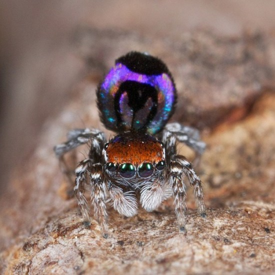 Colorful-Spider-Peacock-006