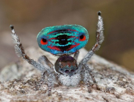 Colorful-Spider-Peacock-008