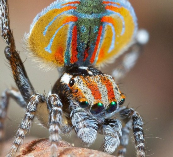 Colorful-Spider-Peacock-011