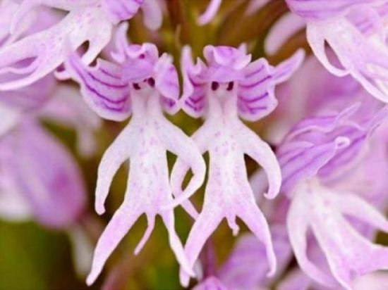 Hanging Naked Man Orchid