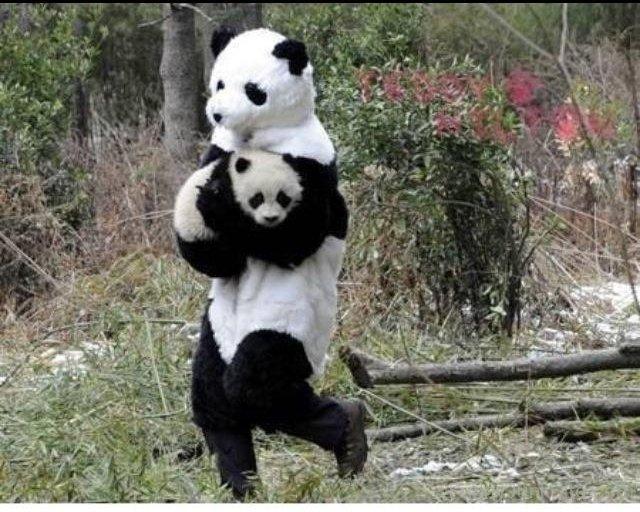 Cute Meme Wallpapers Hairless Panda