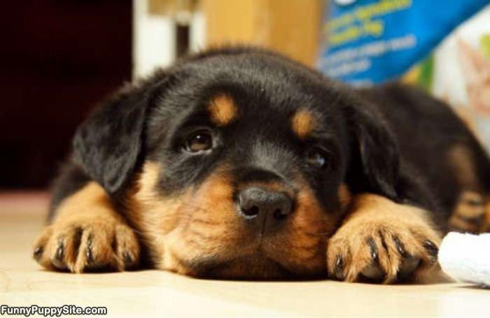 Black Lab Fall Wallpaper Super Cute Puppy Funnypuppysite Com