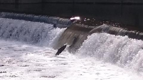 salmonrun3
