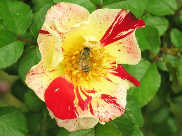 Bee on 4th of July Climbing Rose Bush