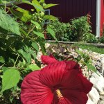 Hibiscus and The Little Red Barn