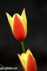 Osterbilder-Osterblumen