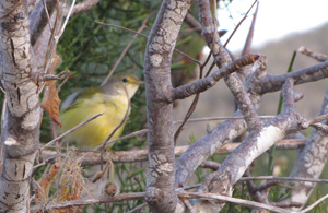 Galapagos Darwin's Finch