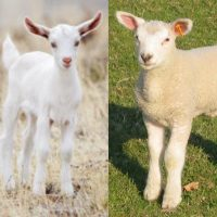 Lamb kid goat meat , whole or in cuts according your demand